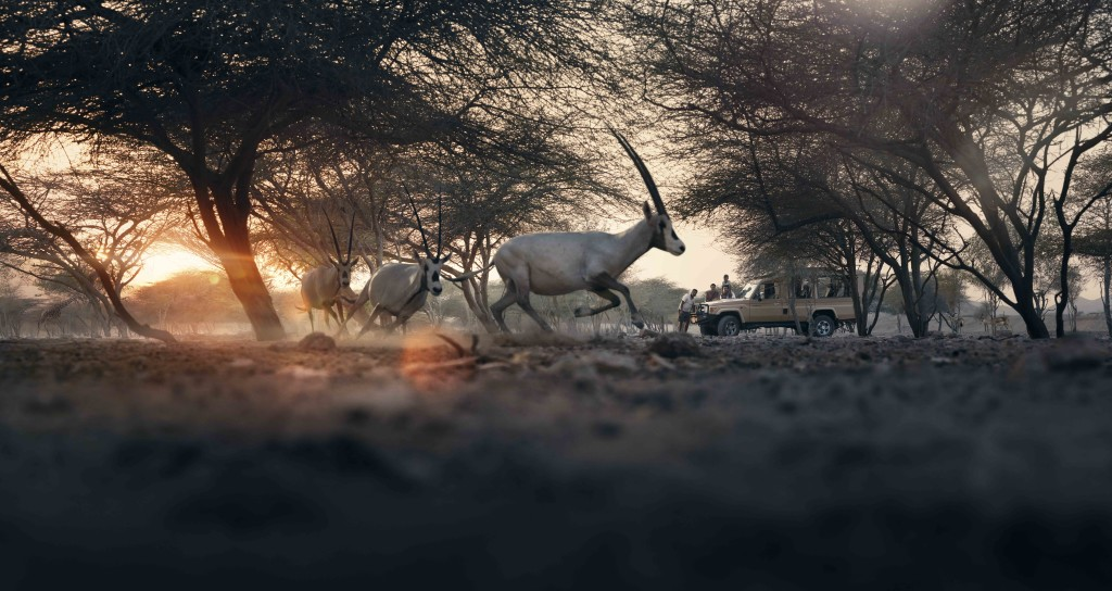 sby_arabian_oryx_panorama
